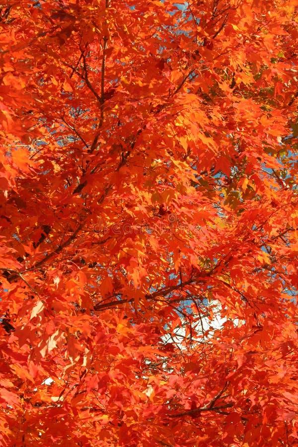 Rotes Ahornholz am Fall stockfotos