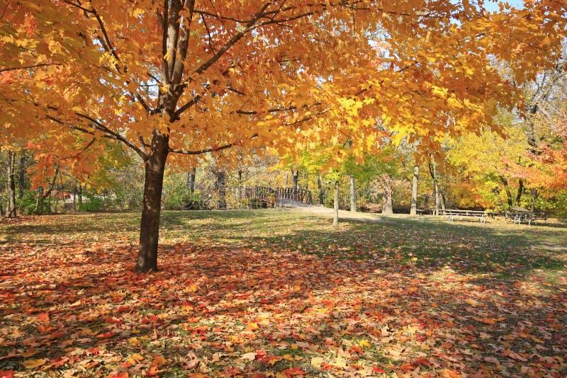 Rotes Ahornholz zeigt weg ihre Farben in Indiana lizenzfreie stockfotos