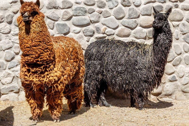 Rotes Alpaka und schwarzes Lama, die zusammen, Arequipa Peru steht lizenzfreies stockbild