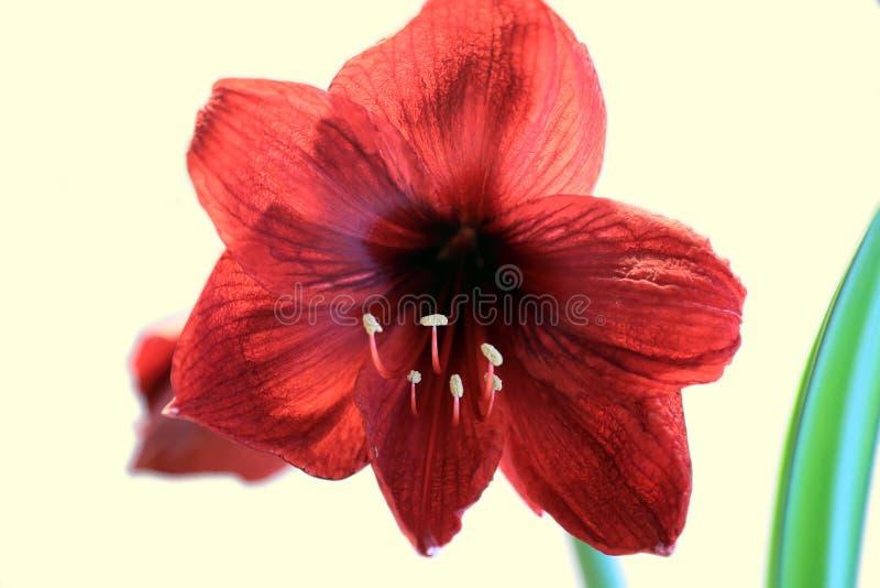 Rotes Amaryllisblühen lizenzfreie stockbilder