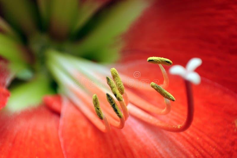 Rotes Amaryllisblumenmakro lizenzfreie stockfotos