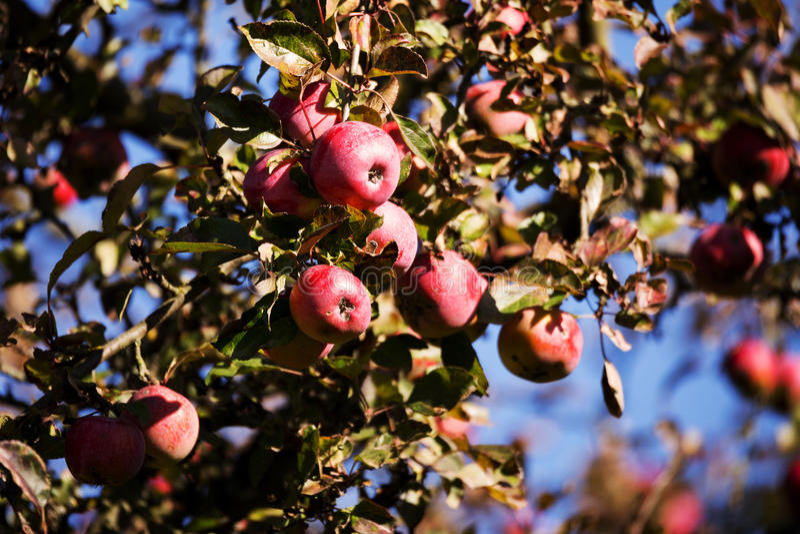 Rotes Apple auf dem Baumast stockfoto