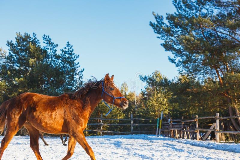 Rotes arabisches Fohlen lässt Galopp entlang dem Paradeplatz im Training laufen Es schneit, aber Frühling ist gekommen lizenzfreies stockbild