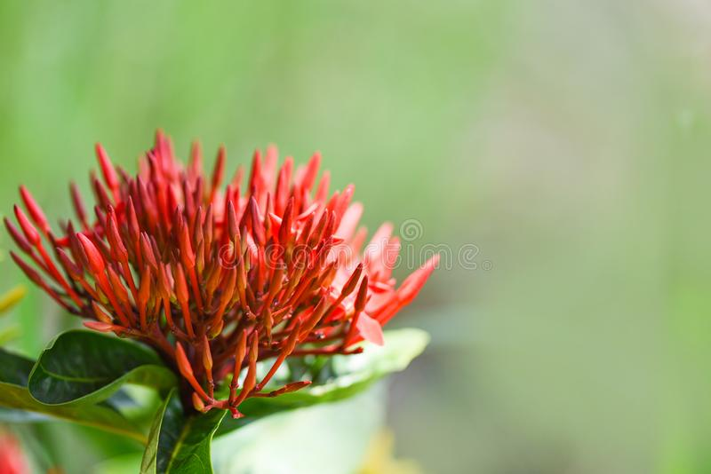 Rotes Blühen Ixora-Blume im Natur-Grünhintergrund des Gartens schönen - Ixora-coccinea chinensis stockfotos