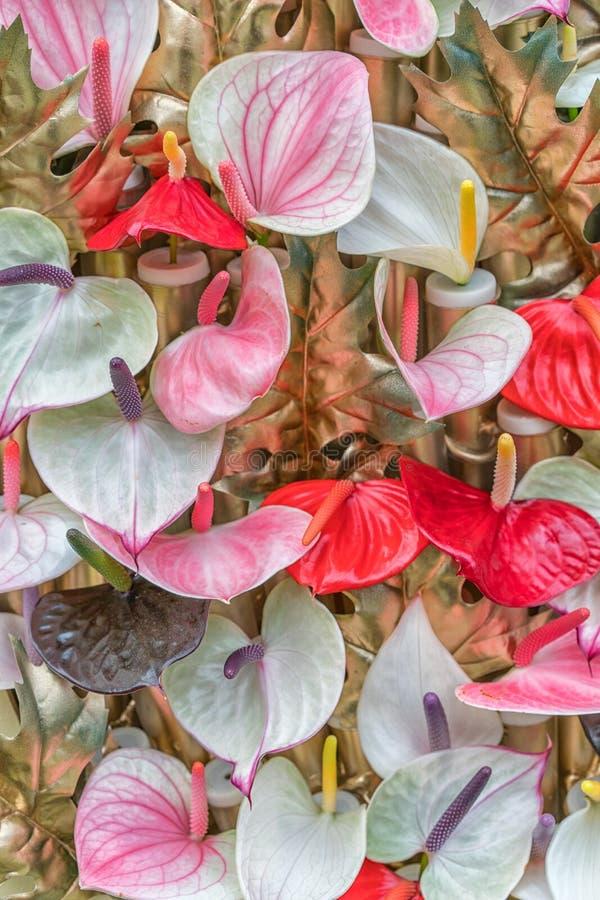Rotes Blütenschweif flowes tailflower, Flamingoblume, laceleaf als natürlicher Hintergrund stockbild