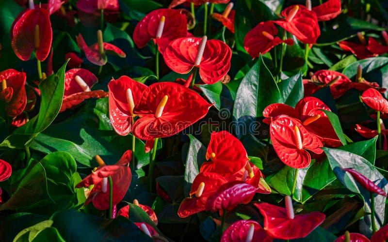 Rotes Blütenschweif flowes tailflower, Flamingoblume, laceleaf mit grünen Blättern Schöne vibrierende bunte tropische Blume lizenzfreies stockbild