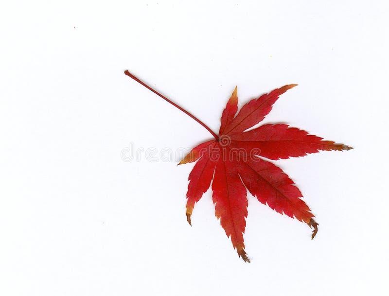 Rotes Blatt lizenzfreie stockfotos