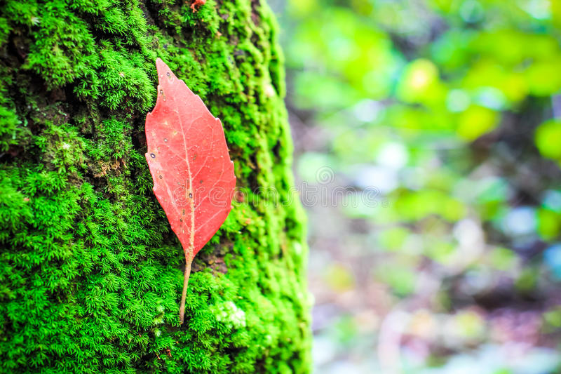 Rotes Blatt auf grünem MOS stockbild
