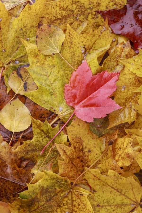 Rotes Blatt des Herbstes auf Stapel gelben Blättern lizenzfreie stockbilder