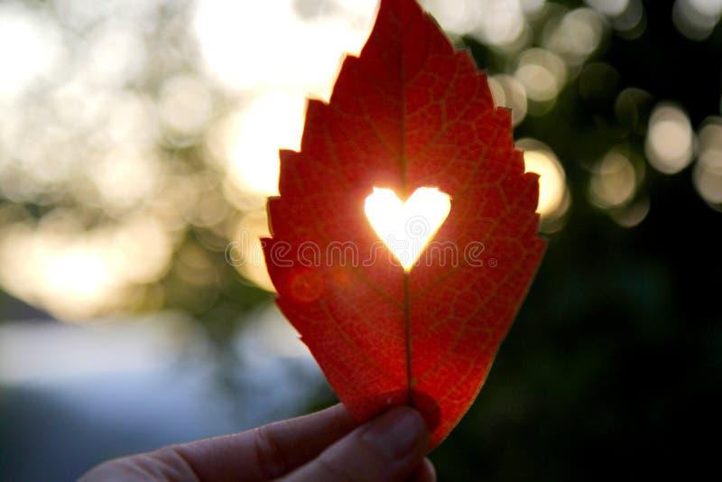 Rotes Blatt des Herbstes mit geschnittenem Herzen in einer Hand stockfotos