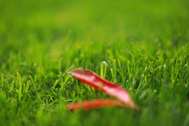 Rotes Blatt lässt Ahorn auf Rasen des grünen Grases im Sommerfrühlings-Parkgarten am sonnigen Tag stockfotografie