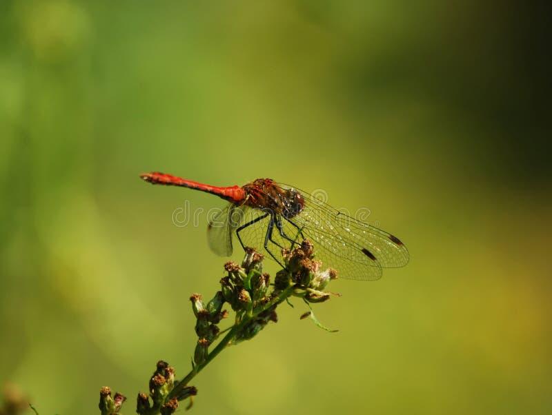 Rotes dragonfliy Sitzen auf der Blume lizenzfreies stockfoto