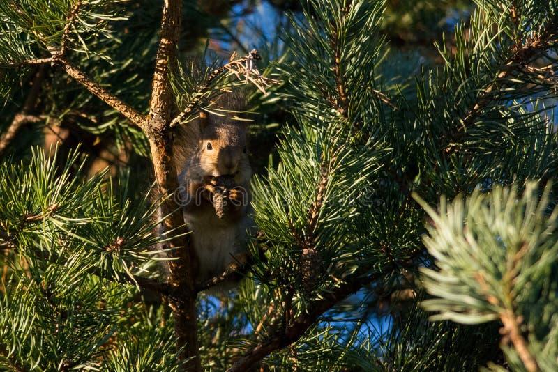 Rotes Eichhörnchen stockfotos