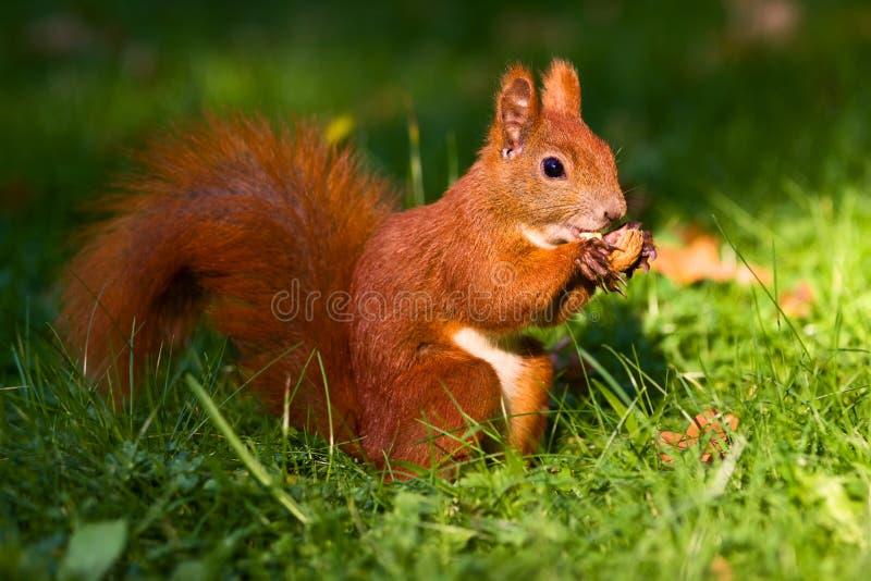 Rotes Eichhörnchen auf dem Gras stockbild