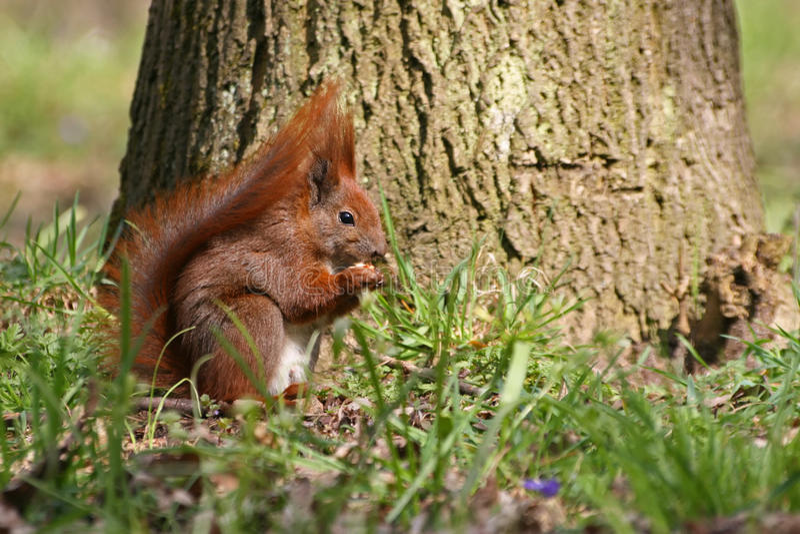 Rotes Eichhörnchen Auf Dem Gras Stockfotos