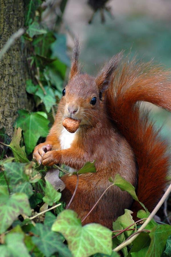 Rotes Eichhörnchen, das eine Haselnuss isst lizenzfreie stockbilder