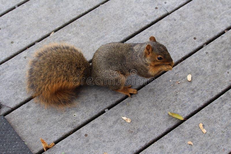 Rotes Eichhörnchen, das Erdnüsse isst stockfotografie