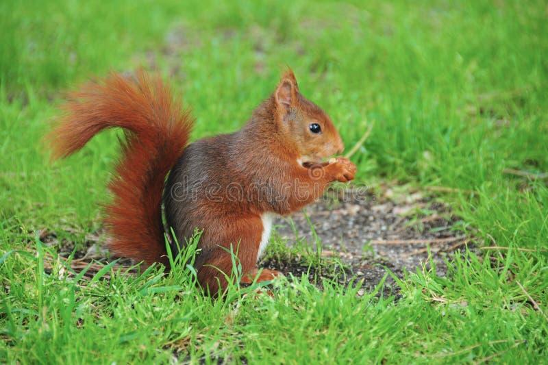 Rotes Eichhörnchen, das Popcorn isst stockbilder