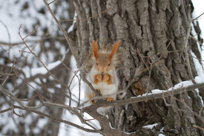 Rotes Eichhörnchen im Baum und im Schnee stockbild