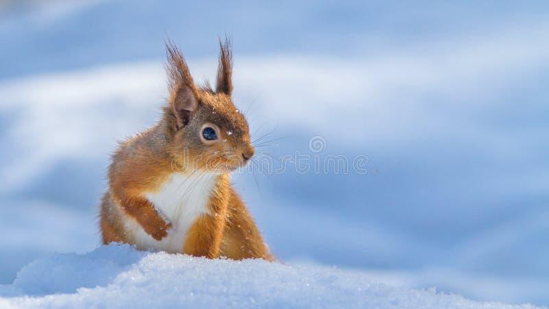 Rotes Eichhörnchen im Schnee lizenzfreie stockbilder