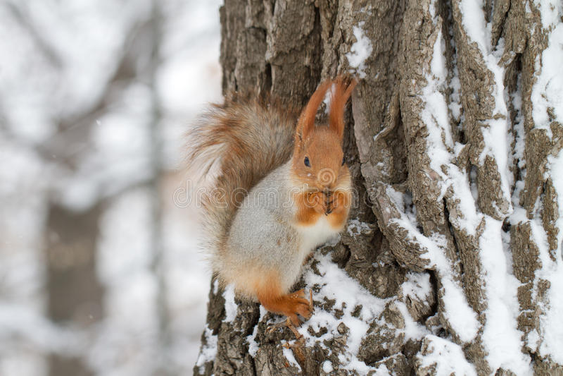 Rotes Eichhörnchen im Winter stockfotos