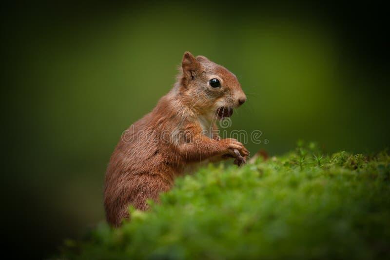 Rotes Eichhörnchen-Schätzchen. stockfotografie