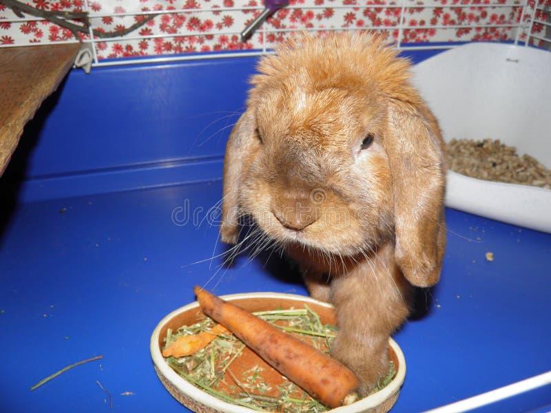 Rotes flaumiges schönes kleines des Kaninchens isst lizenzfreie stockfotografie
