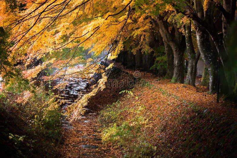 Rotes Gelb des japanischen Ahorns Momiji-Tunnels verlässt im Herbst stockbild