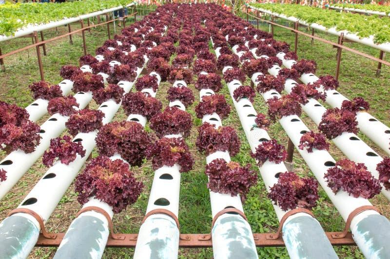 Rotes Gemüse der Hydroponik im kleinen Garten lizenzfreies stockbild