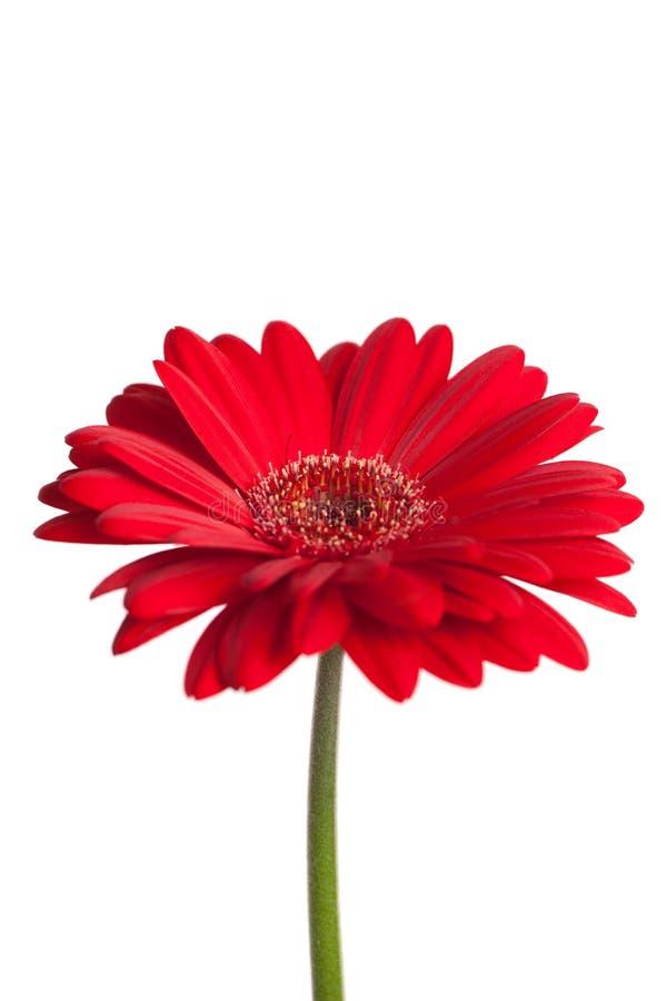 Rotes gerber Gänseblümchen lizenzfreies stockbild