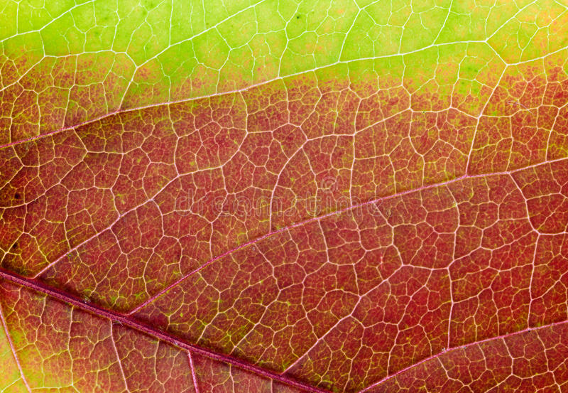 Rotes grünes Herbst Makroblatt. Hintergrundbeschaffenheit lizenzfreie stockbilder