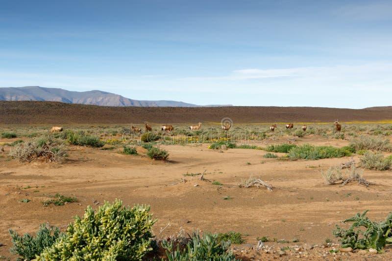 Rotes Hartebeest, das auf einem Gebiet in Tankwa-Karoo weiden lässt stockfotografie