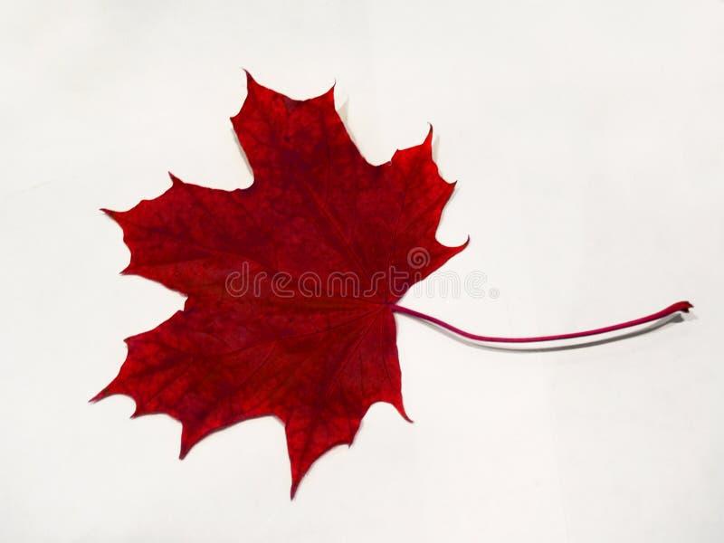 Rotes Herbst-Ahornblatt auf Weiß stockbilder