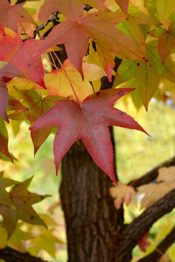 Rotes Herbst-Blatt stockbilder
