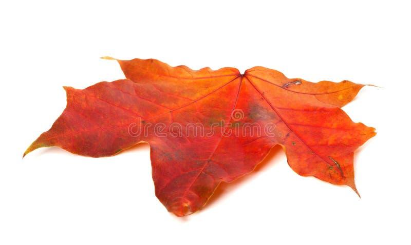 Rotes Herbstahornblatt auf weißem Hintergrund stockfoto