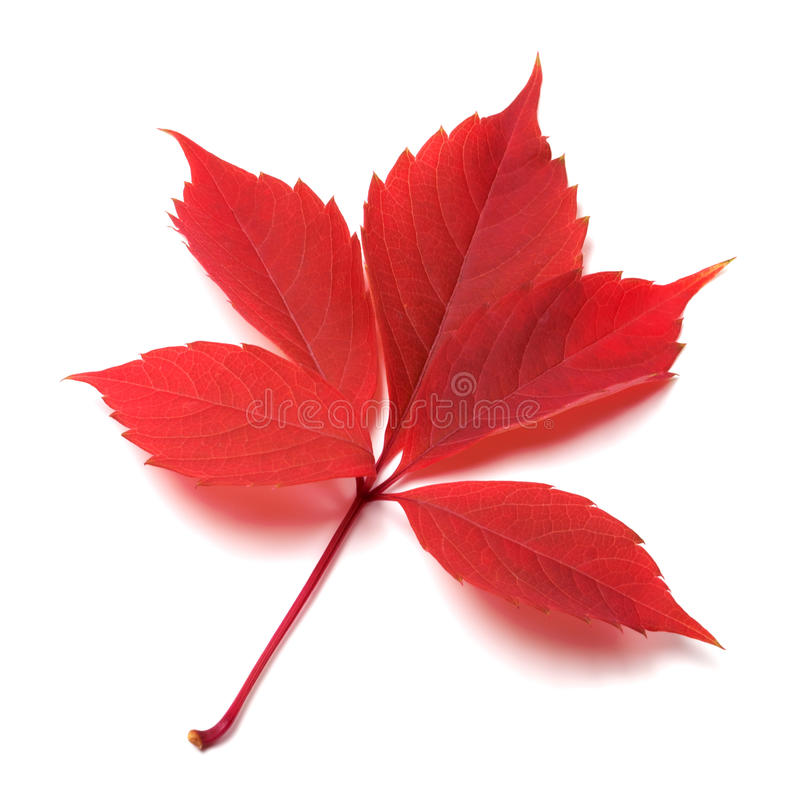 Rotes Herbstblatt auf weißem Hintergrund stockfoto