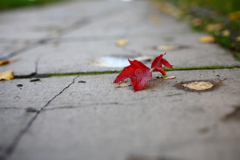 Rotes herbstblatt im公园auf dem Boden 免版税库存图片