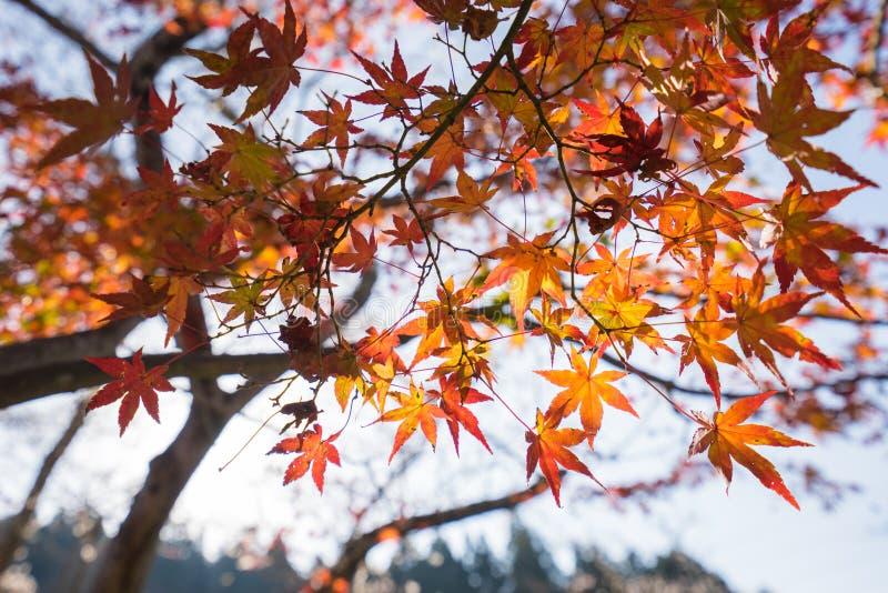 Rotes Herbstblatt leuchtete durch Sonnenschein in Obara, Nagoya, Japan stockfotografie