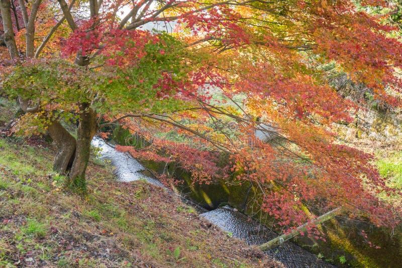 Rotes Herbstblatt leuchtete durch Sonnenschein in Obara, Nagoya, Japan stockbilder
