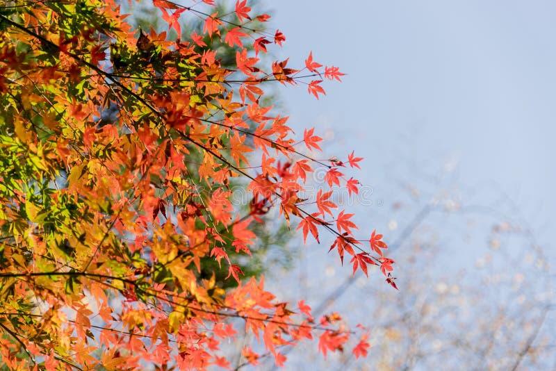 Rotes Herbstblatt leuchtete durch Sonnenschein in Obara, Nagoya, Japan lizenzfreies stockbild