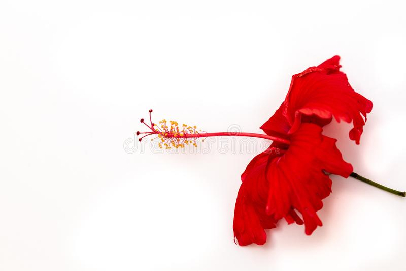 Rotes Hibiscus Amapola-Blüten-Profil lokalisiert auf Weiß lizenzfreies stockbild