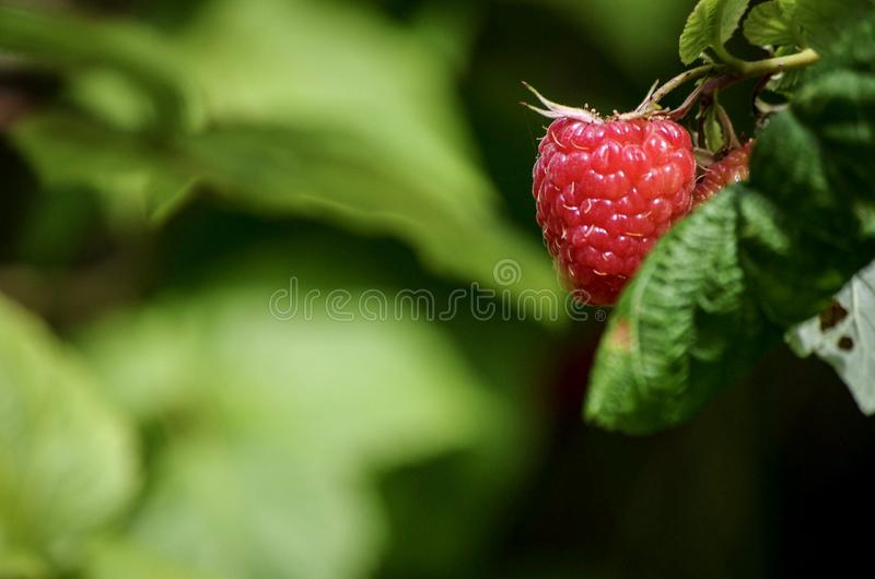 Rotes Himbeerbusch stockbilder