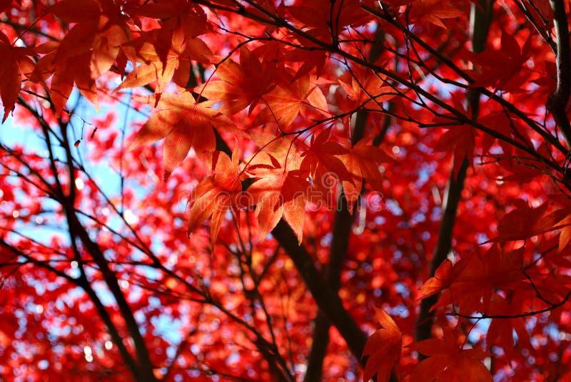 Rotes japanischer Ahorn-Laub lizenzfreies stockfoto