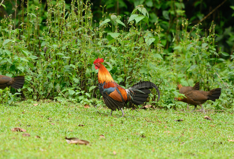 Rotes junglefowl (Gallus Gallus) stockfotografie