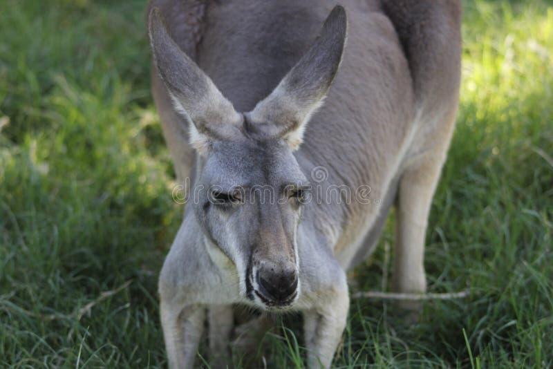 Rotes Känguru Macropus rufus 4 stockfoto
