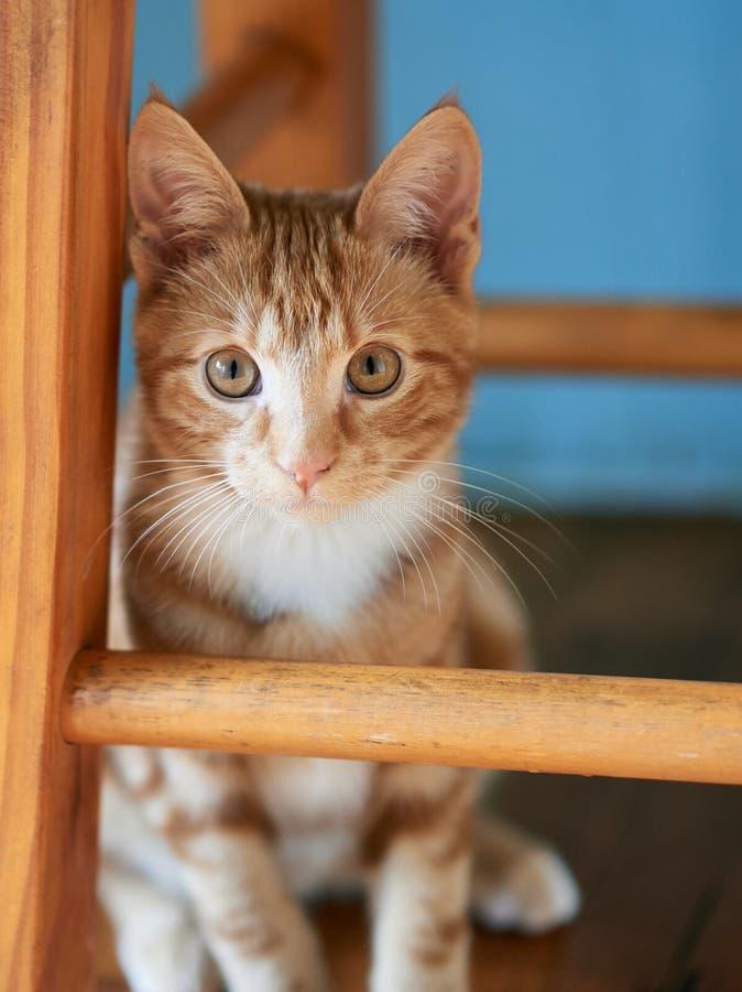 Rotes Kätzchen der getigerten Katze des herrlichen Ingwers, das unter einem hölzernen Schemel aufwirft für die Kamera sitzt lizenzfreie stockfotos