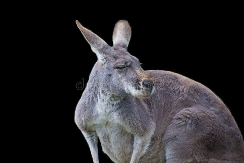 Rotes K?nguru Macropus rufus ist aller K?ngurus, der gr??te terrestrische S?ugetiereingeborene nach Australien das gr??te lizenzfreie stockfotografie