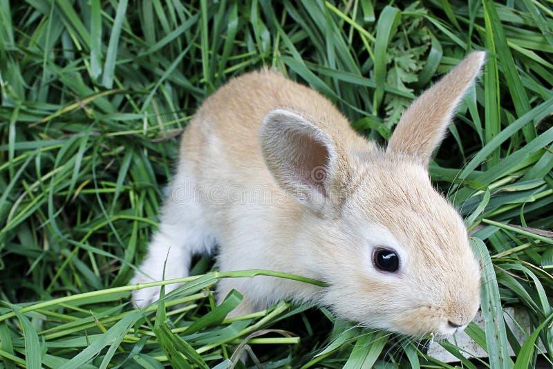 Rotes Kaninchen auf dem frischen Gras lizenzfreie stockfotografie
