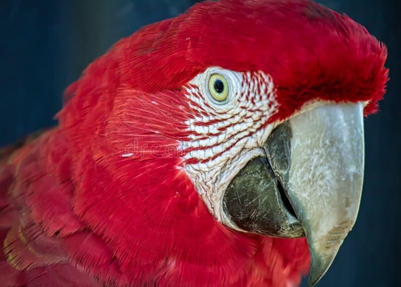 Rotes Keilschwanzsittich alias Arara-vermelha, exotischer brasilianischer Vogel - Foto des Kopfes eines roten Keilschwanzsittichs lizenzfreie stockfotografie