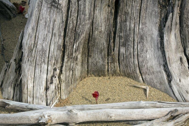 Rotes Laub des Ahornsämlings unter Treibholz am Flagstaff See lizenzfreie stockbilder